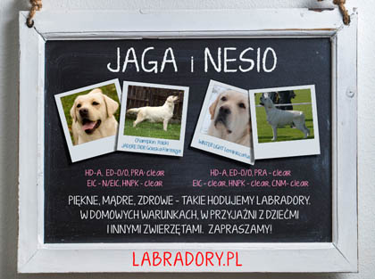 Szczenięta labrador retriever 2019